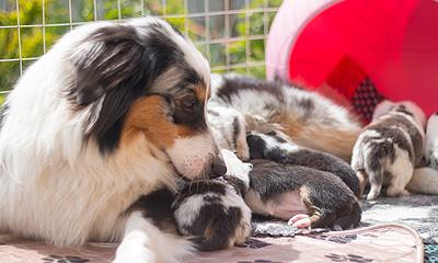 популярная порода собак