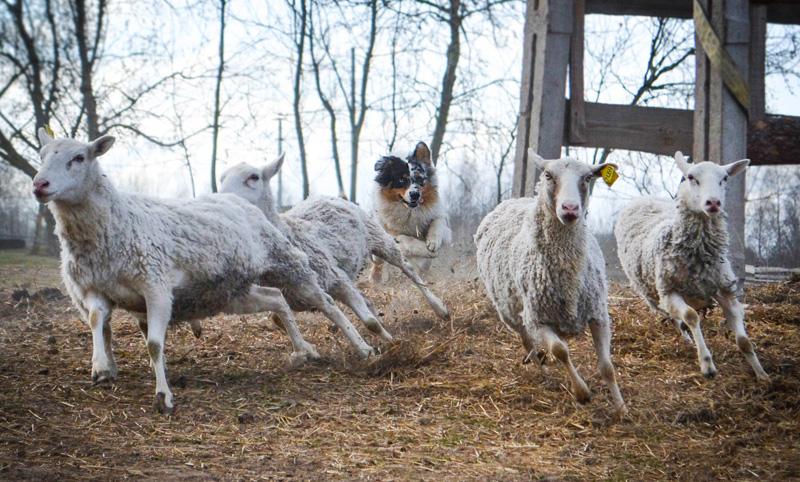пастушья порода - австралийская овчарка