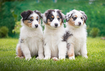 фото щенков аусси