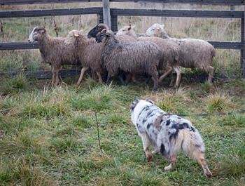 австралийская овчарка ТПИ