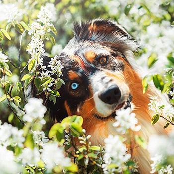 австралийская овчарка фото