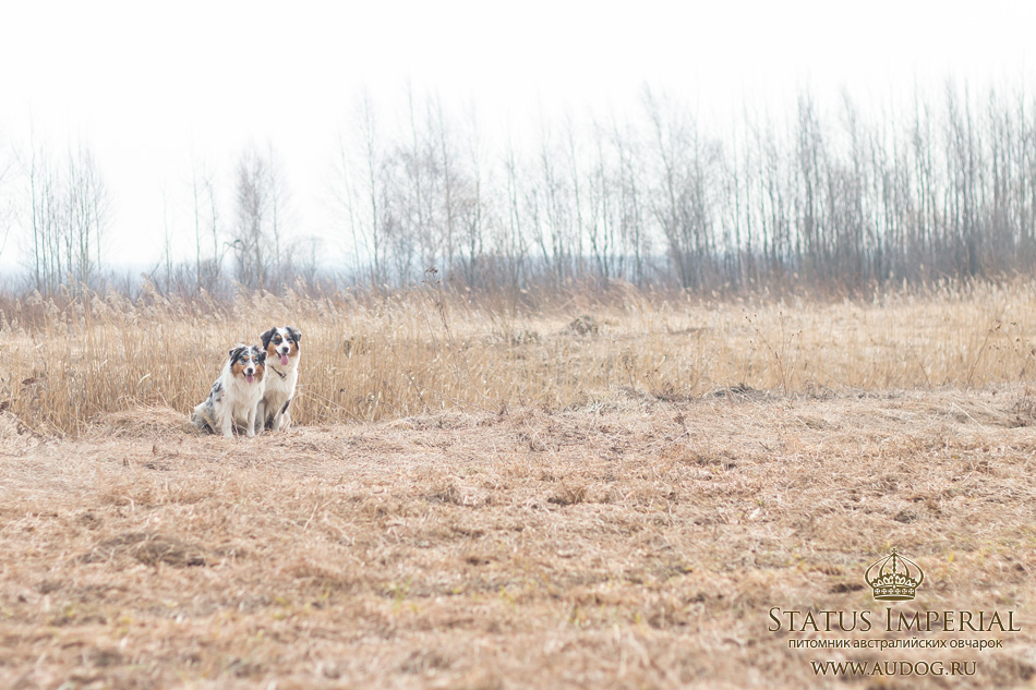 Status Imperial - аусси и... китайские хохлатые собаки :) - Страница 2 20