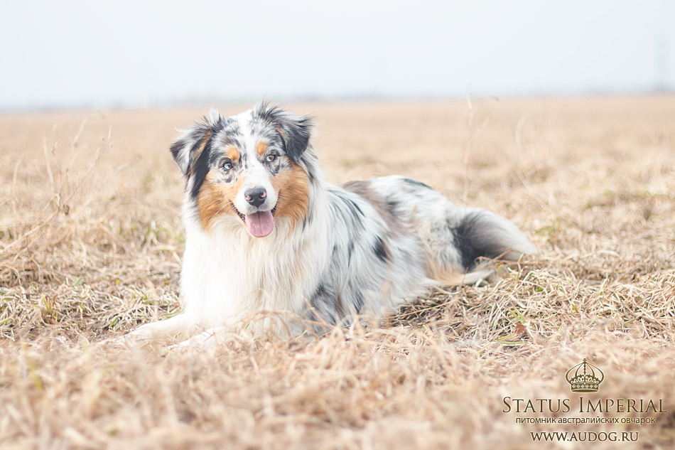 Status Imperial - аусси и... китайские хохлатые собаки :) - Страница 2 6