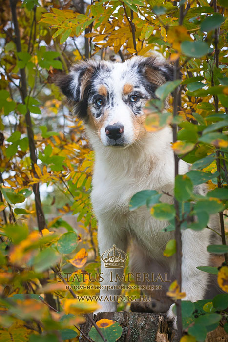 Status Imperial - аусси и... китайские хохлатые собаки :) - Страница 2 1