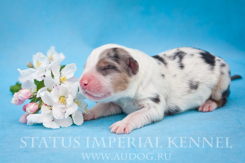 Status Imperial - аусси и... китайские хохлатые собаки :) 2