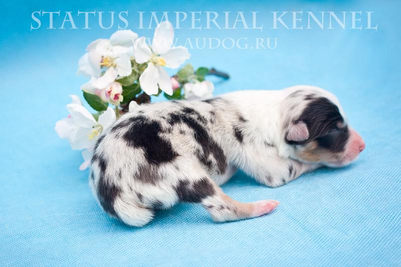Status Imperial - аусси и... китайские хохлатые собаки :) 3