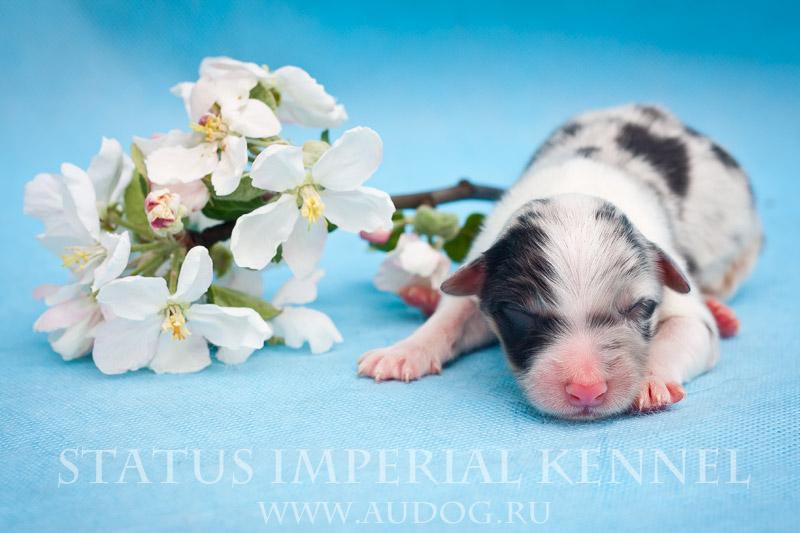Status Imperial - аусси и... китайские хохлатые собаки :) 4