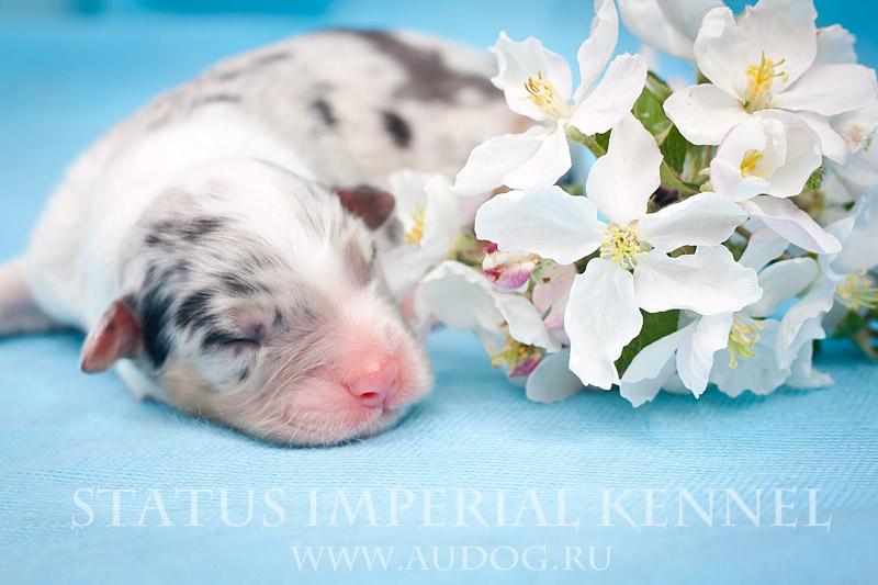 Status Imperial - аусси и... китайские хохлатые собаки :) 5
