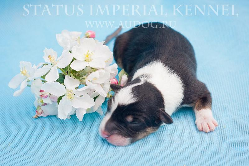 Status Imperial - аусси и... китайские хохлатые собаки :) 1