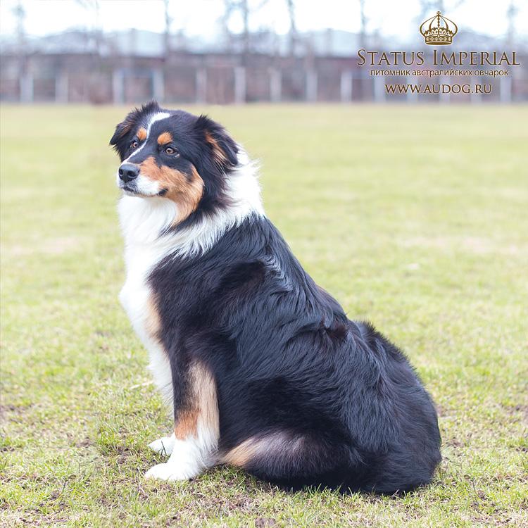 Status Imperial - аусси и... китайские хохлатые собаки :) - Страница 2 18
