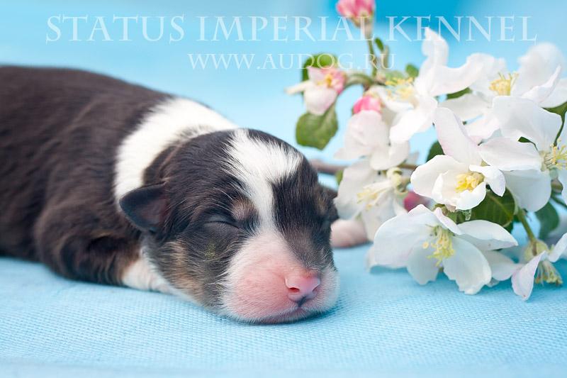 Status Imperial - аусси и... китайские хохлатые собаки :) 6