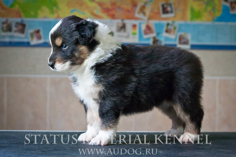 Status Imperial - аусси и... китайские хохлатые собаки :) - Страница 2 7