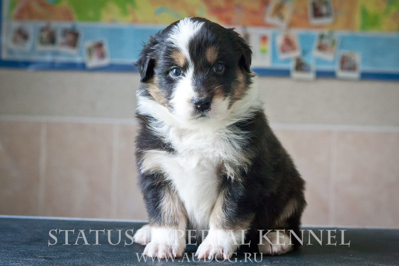 Status Imperial - аусси и... китайские хохлатые собаки :) - Страница 2 8